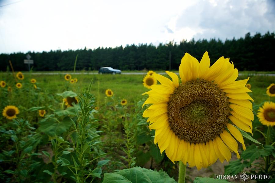 sunflower-7520
