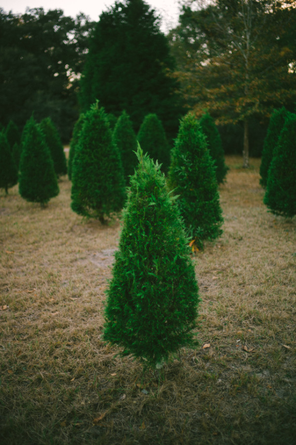 thanksgiving-and-cut-your-own-christmas-tree-00015